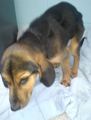 Coon Hound puppy that Dennis gave some extra TLC so he would be able to be healthy enough to be adopted.