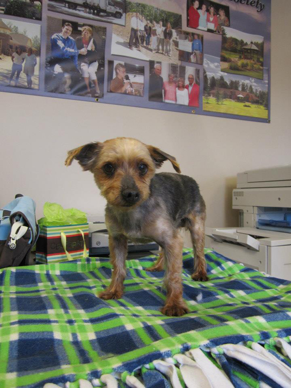 Formerly known as number 81, Mack was one of the nine puppy mill dogs who began his second chance with a shave down and a bath yesterday (there are three left who will get shaved and bathed today). Every one of the 12 dogs we rescued has given us nothing but love and affection. They know they are lucky to be here at LTBHS and we know we are lucky to be part of their second chance.