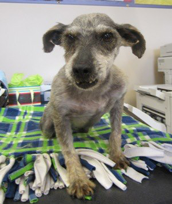 My name is Madison and I'm one of the puppy mill dogs. I'm eight years old and have spent all of my life in a cage so I'm ready to be showered with the love and affection I keep hearing about in a forever home. I sure hope I can find a loving family that is willing to share their home with me. I'm very friendly and wouldn't mind living with other pets and older children. If you give me a chance, I promise to give you lots of my famous smiles for the rest of my days.