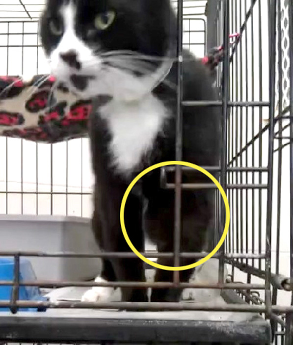 This is Mittens, still at the Animal Shelter, not receiving veterinary care for the growth on her leg.