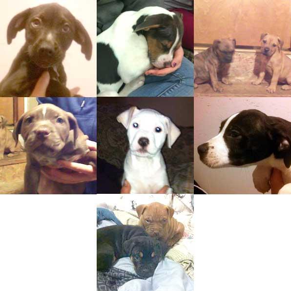Shadow (female, 14 week Beagle/Bulldog), Griffon (male, 14 week Beagle/Bulldog), Lottie & Zipper (female, 8 week Bulldog/Lab/Pit Bull), Diamond (female, 8 week Bulldog/Lab/Pit Bull), Sydney (9 week Pit Bull mix), Pappy (male, 14 week Beagle/Bulldog), Winks (brown male) & Jinks (black/tan female) 8 week Bulldog/Lab/Pit Bull