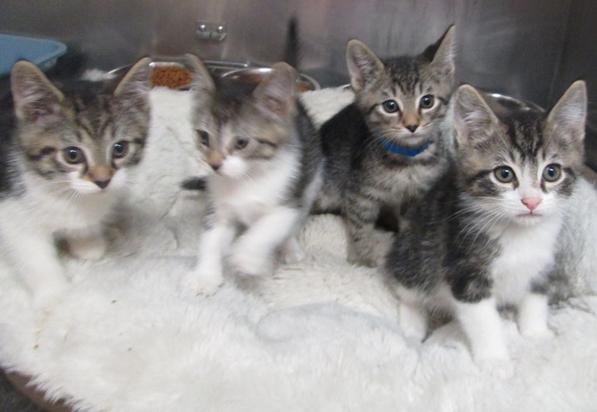 chs kittens