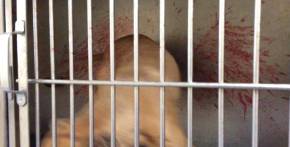 A dog's cage with blood on the back of the enclosure