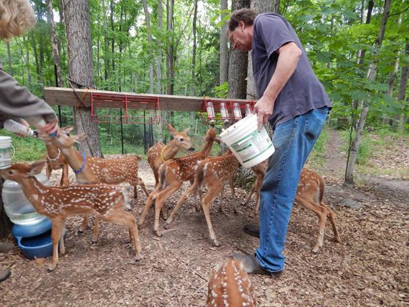deer feeding
