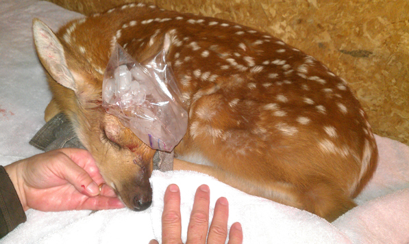 fawn with ice