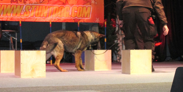 """Grand Traverse K9 Janke searching for """"explosives"""" on the stage of the church"""