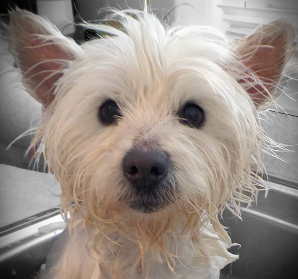 Miss Molly was rescued by Westie Rescue of Michigan