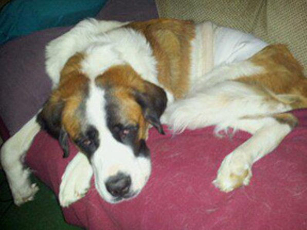 Daisy, a two-year old St. Bernard owned by Carrie Donald, who had complications of her spay surgery during the Spay Neuter Express visit in 2012.